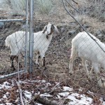 Boys-Staring-at-Goats-20130129-1632