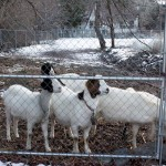 Boys-Staring-at-Goats-20130129-1633